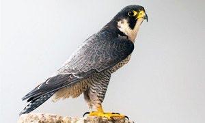 Falco pellegrino 300x180