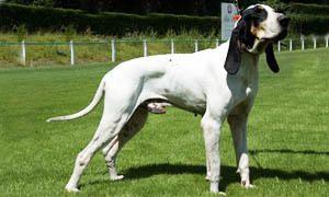 cane da caccia - Grand Gascon Saintongeois 300x180