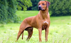 cane da guardia - Rhodesian Ridgeback 300x180