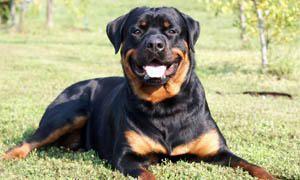cane da guardia - Rottweiler