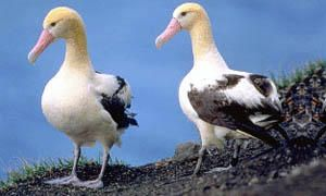 albatros 300x180