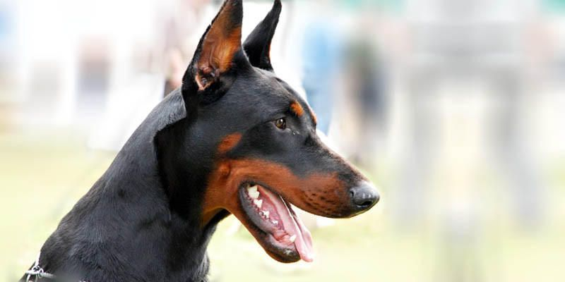 Cani Da Guardia Le Razze Migliori Best5it