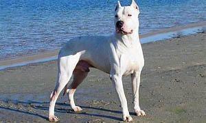 cane da guardia - dogo argentino 300x180