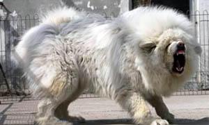mastino tibet bianco 300x180