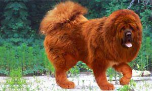 mastino tibet5-300x180