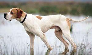 cane da caccia - pointer inglese