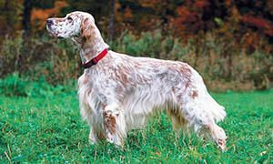 cane da caccia - setter inglese