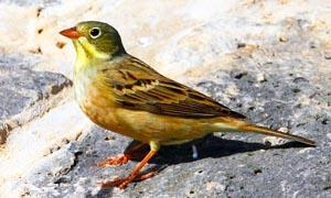 5 uccelli coloratissimi nidificanti in Italia-Ortolano-300x180