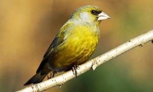 5 uccelli coloratissimi nidificanti in Italia-Verdone-300x180