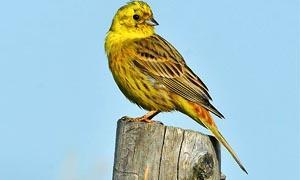 5 uccelli coloratissimi nidificanti in Italia-Zigolo giallo-300x180