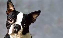 Boston terrier 2 800x400