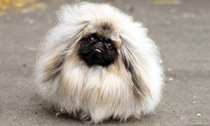 Il Pechinese- un cane distintamente riservato, snob e raffinato 1-300x180