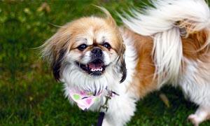 Il Pechinese- un cane distintamente riservato, snob e raffinato 2-300x180
