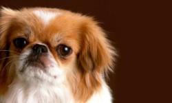 Il Pechinese- un cane distintamente riservato, snob e raffinato 2-800x400