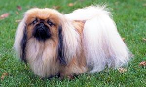 Il Pechinese- un cane distintamente riservato, snob e raffinato 3-300x180