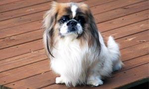 Il Pechinese- un cane distintamente riservato, snob e raffinato 4-300x180