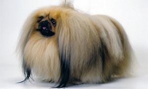 Il Pechinese- un cane distintamente riservato, snob e raffinato 5-300x180