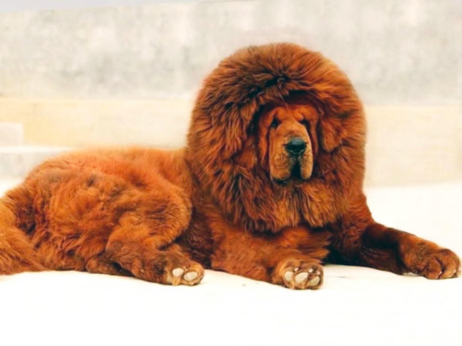 Mastino Tibetano Un Cane Da Record Best5it