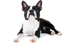 boston terrier 2 300x180