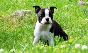 boston terrier 3 300x180