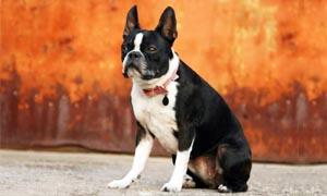 boston terrier 5 300x180