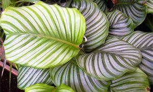 5 bellissime piante Brasiliane-Calathea-300x180