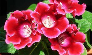 5 bellissime piante Brasiliane-Gloxinia-300x180