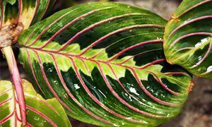 5 bellissime piante Brasiliane-Maranta-300x180