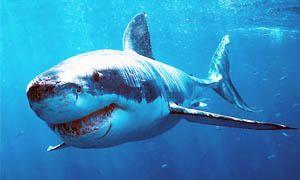5 squali pericolosissimi per l'uomo-squalo bianco-300x180