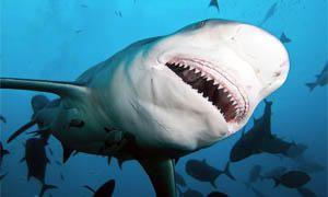 5 squali pericolosissimi per l'uomo-squalo leuca-300x180