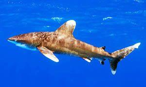 5 squali pericolosissimi per l'uomo-squalo longimano-300x180