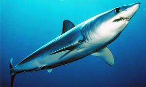 5 squali pericolosissimi per l'uomo-squalo mako-300x180