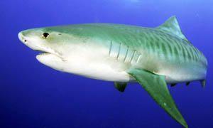 5 squali pericolosissimi per l'uomo-squalo tigre-300x180