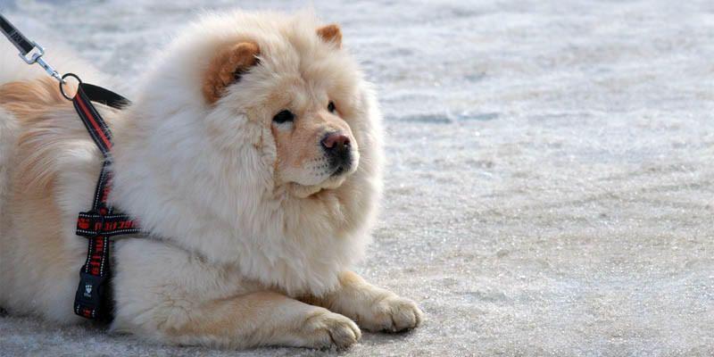 Chow Chow Un Cane Indipendente Distaccato Altero E Dalla