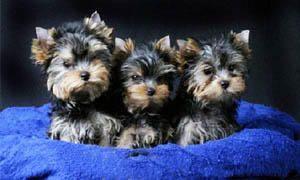 Yorkshire-Terrier-La riproduzione non è sempre facile-300x180