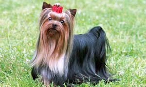 Yorkshire-Terrier-Standard-300x180