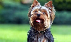 Yorkshire-Terrier-comportamento-300x180