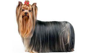 Yorkshire-Terrier-mantello senza uguali-300x180