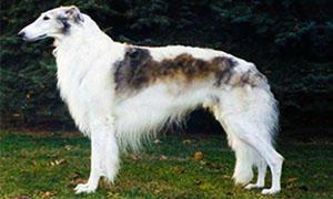Barzoi-levriero russo 3-300x180