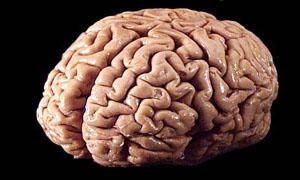 Corpo umano-il cervello-300x180