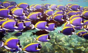 Pesci d'acquario-Pesci che vivono in banchi-300x180