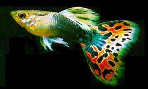 Pesci d'acquario-Pesci che vivono sul fondo e pesci che occupano l'intero acquario-300x180