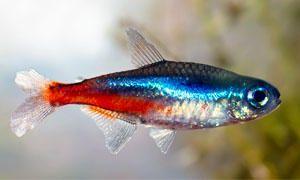 Pesci d'acquario-Pesci di superficie e pesci che abitano la zona centrale dell'acquario-300x180