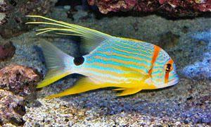 Pesci d'acquario-Pesci solitari e pesci che vivono in coppia-300x180