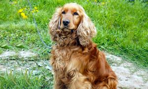 Cocker Spaniel Inglese-Origine-300x180