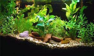 Come allestire un acquario-piante-300x180