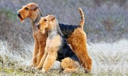 Airedale-Terrier 1-800x400