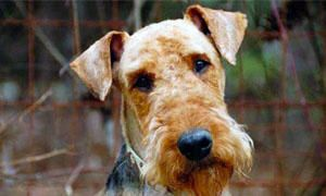 Airedale-Terrier-comportamento-300x180