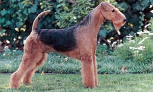 Airedale-Terrier-standard-300x180
