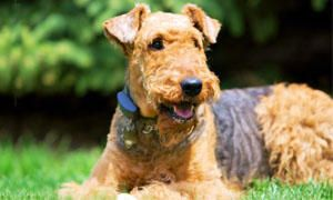 Airedale-Terrier-storia-300x180